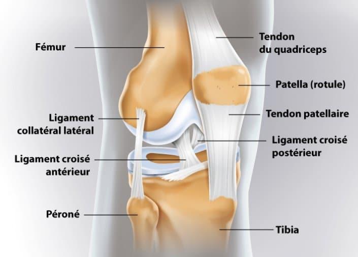 Anatomie des ligaments du genou (ligaments croisés, ligaments latéraux)